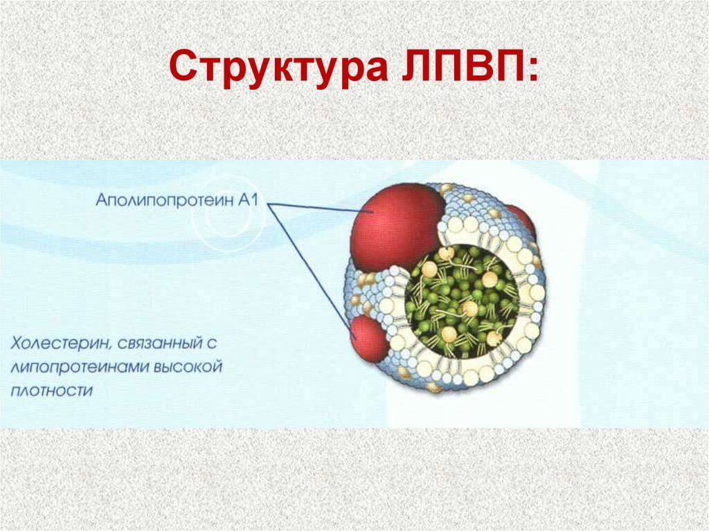 ЛПВП холестерин