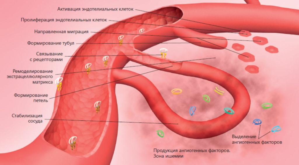 Функция эндотелия
