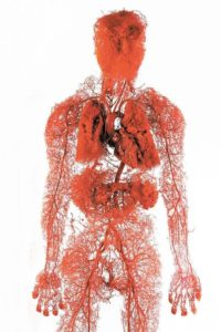 Кровеносные сосуды в организме человека