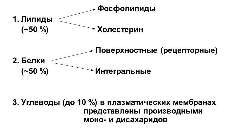 Химический состав межклеточных мембран