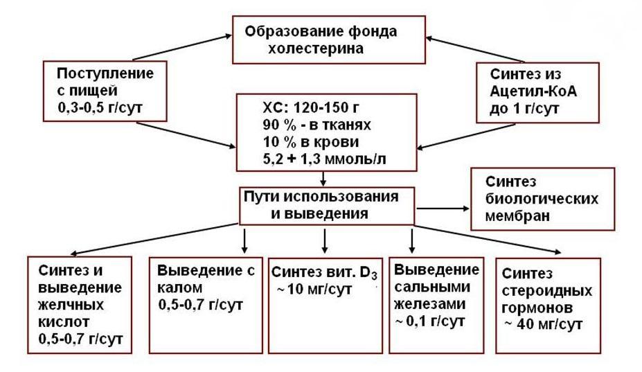 Общая схема обмена холестерина в организме человека