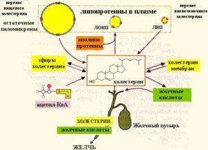 Образование холестерина в печени