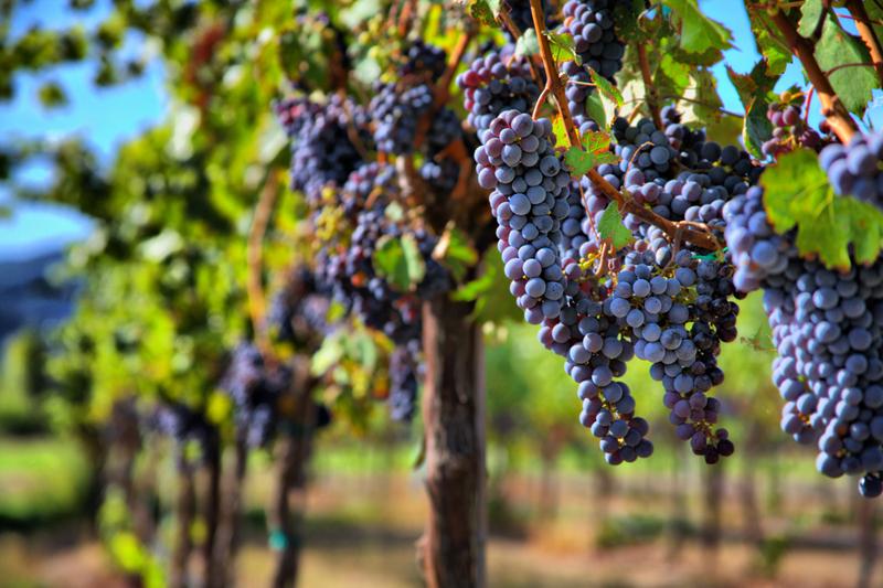 Виноград Tannat из Южной Франции