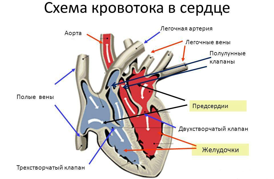 Кровоток в сердце
