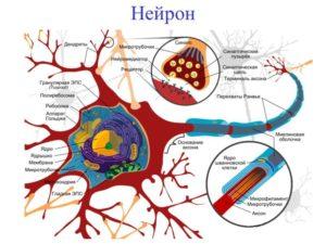 Массаж возбуждают вставочные нейроны головного мозга