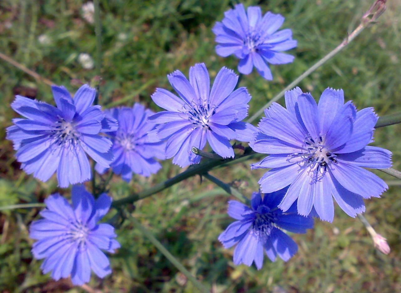 Цикорий легко узнать по голубым соцветиям