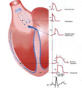 Влияние кальция на сокращение сердечной мышцы